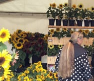 Learning about Sunflowers at the Horticultral & Gardening Festival 2015,